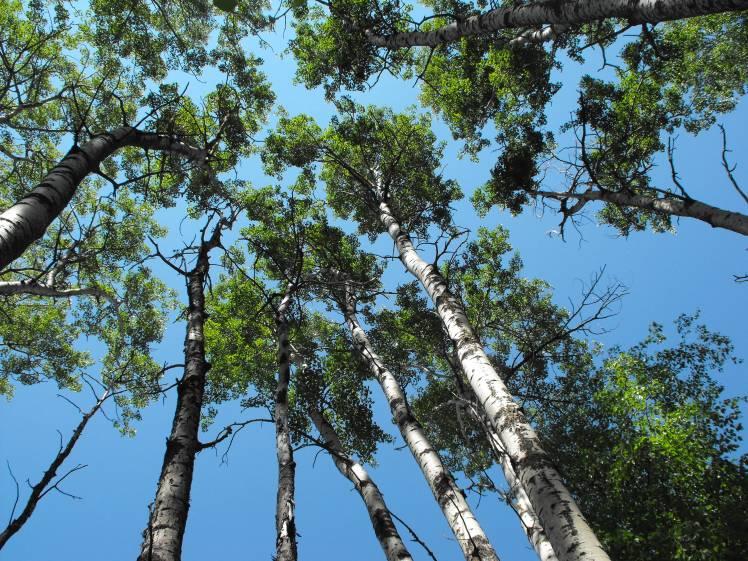 poplar-stand-edmonton-removal