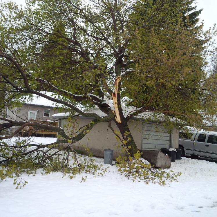 storm-damage-manitoba-maple